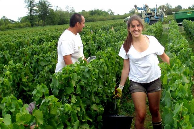 Diane Roberts picking grapes