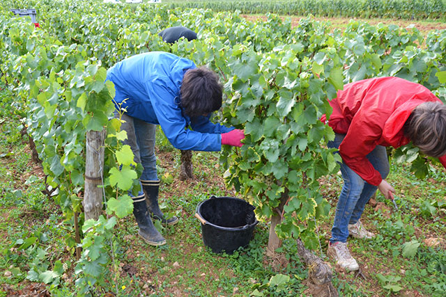 grape-pickers-bending