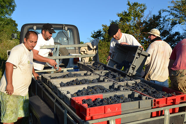 loading grapes into truck